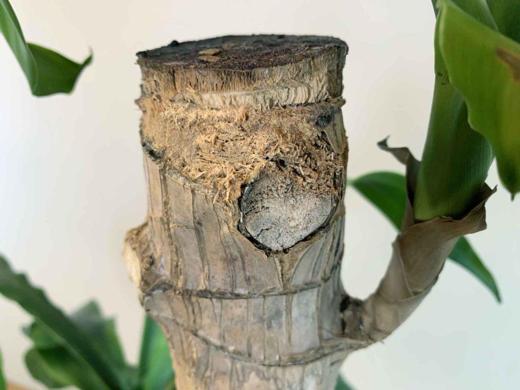 幸福の木(ドラセナ・マッサンゲアナ)の枝を切った瞬間に乾燥している切断面の場合は不健康な枝と判断できる