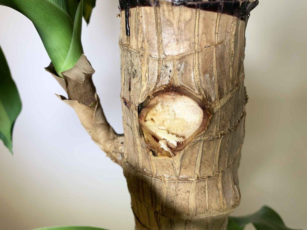 幸福の木(ドラセナ・マッサンゲアナ)の枝の水々しい切断面