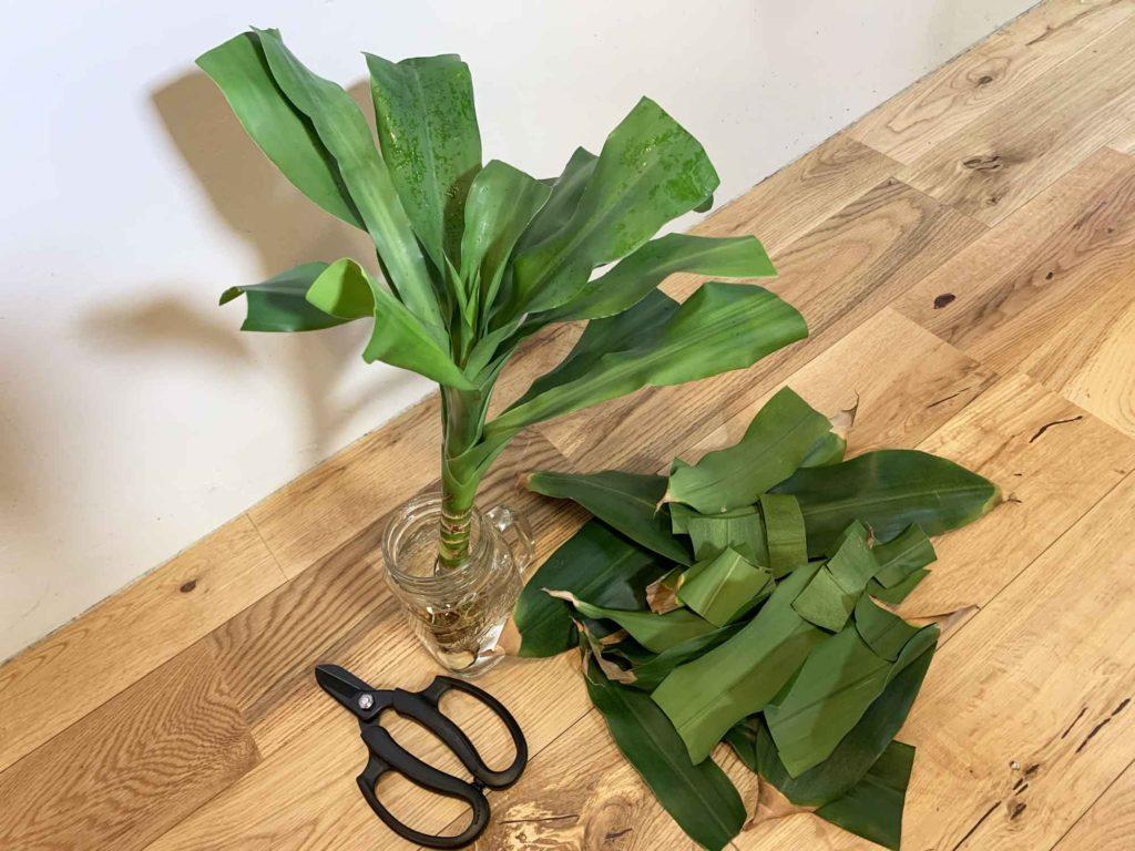幸福の木(ドラセナ・マッサンゲアナ)の水栽培では葉を半分に切って水分蒸発量を半減させる