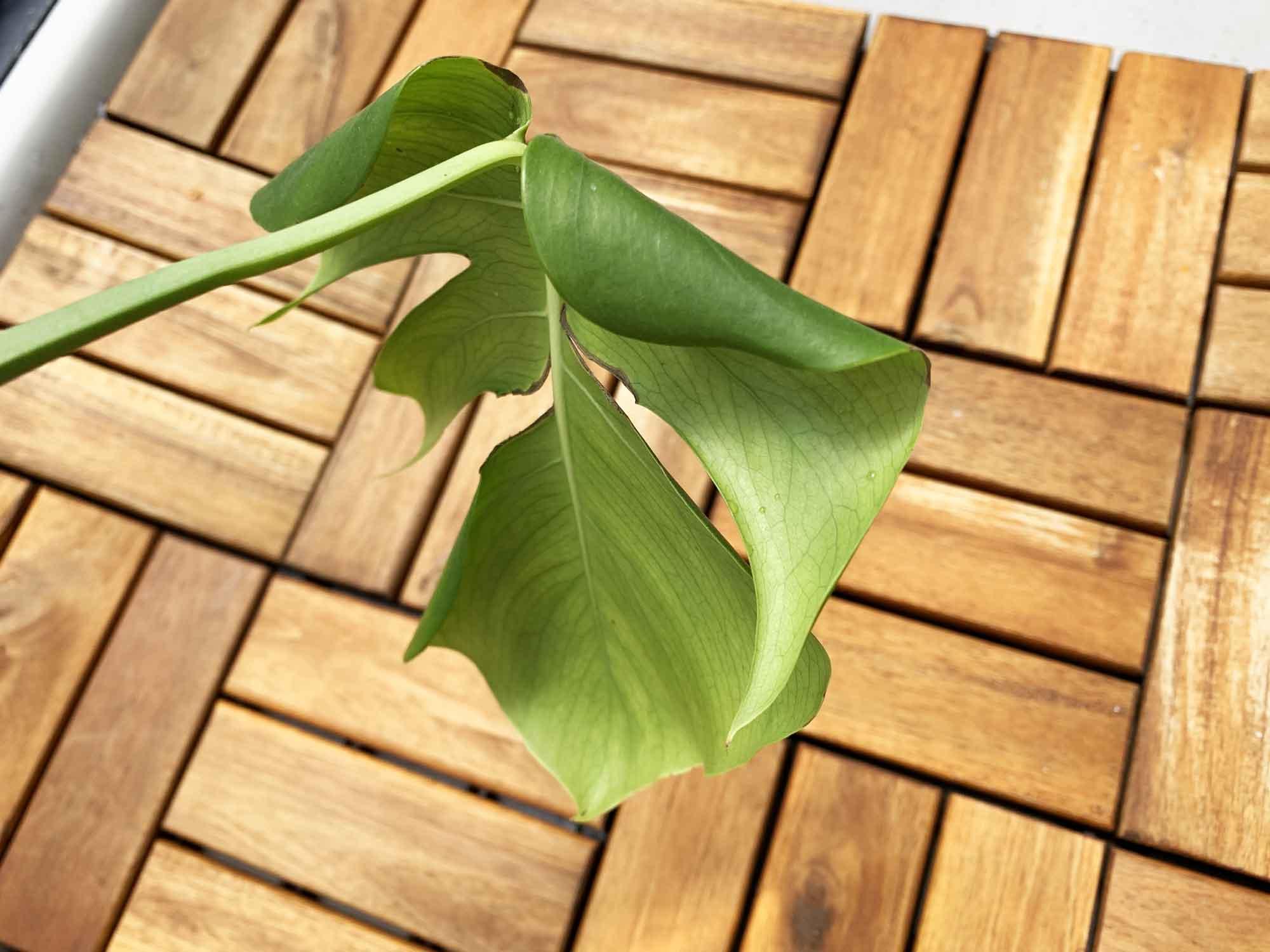 葉が丸まってひょろひょろしているモンステラ