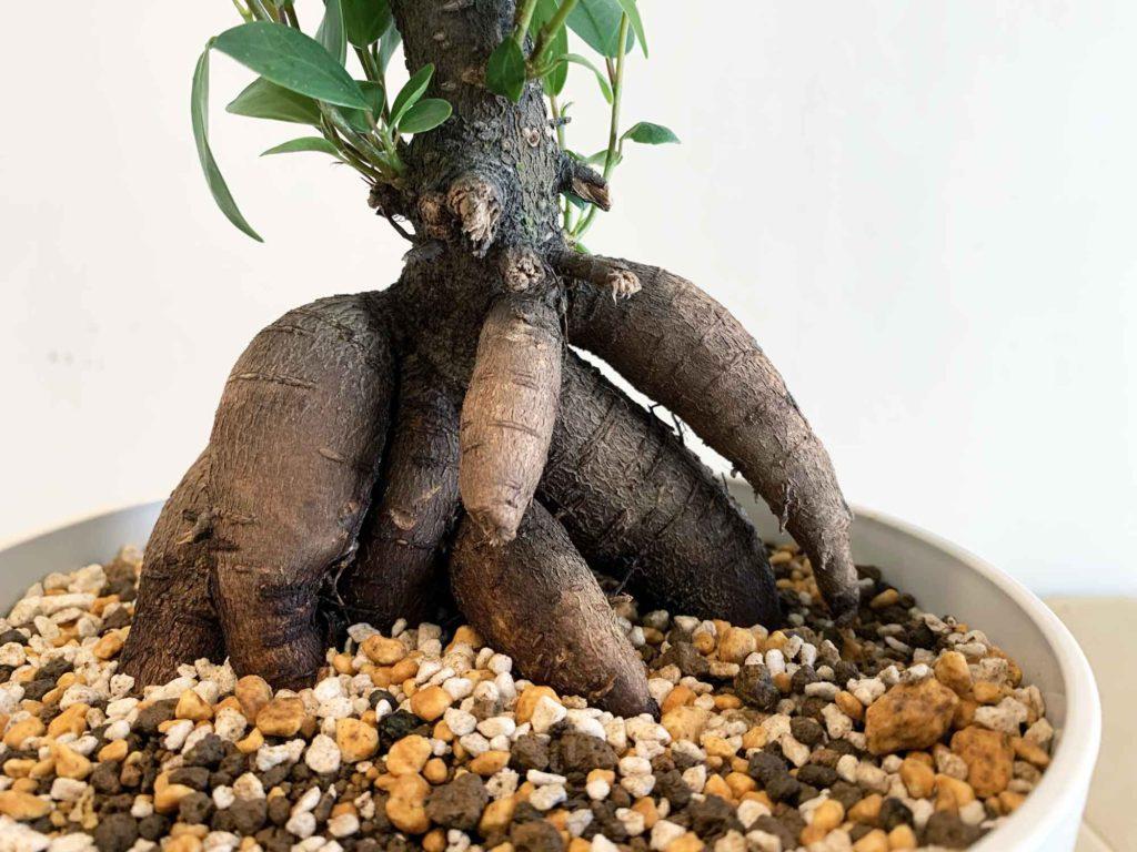 土に根を付けず浮いている根が2つのガジュマル