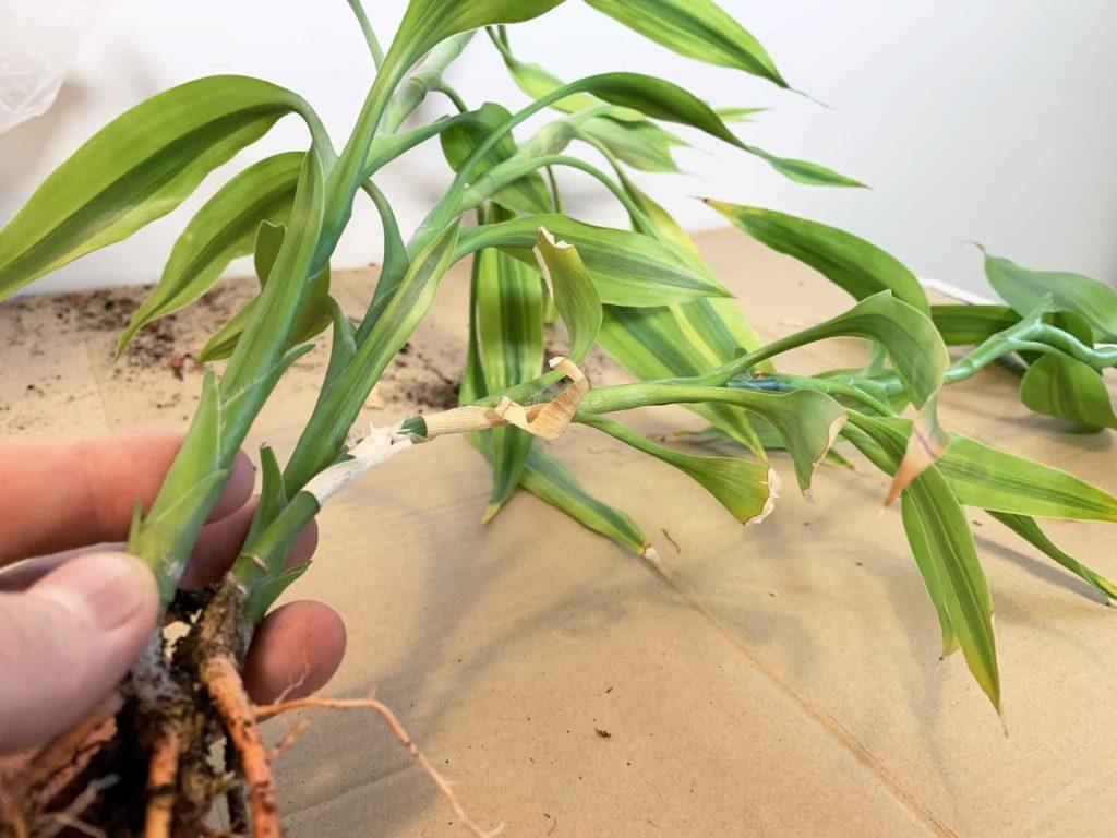 古い茎の葉だけ枯れるドラセナ・サンデリアーナ