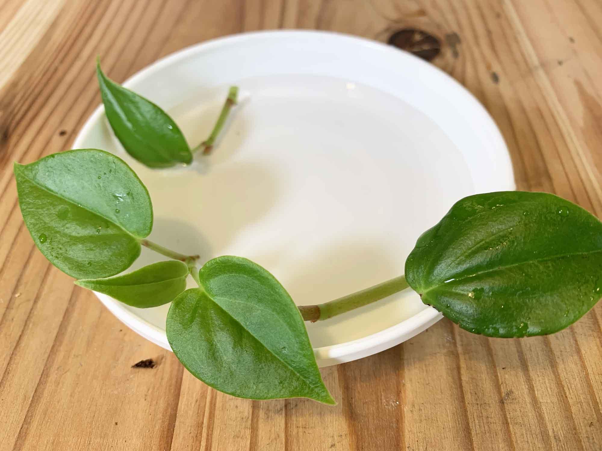 ペペロミアを水栽培で増やす