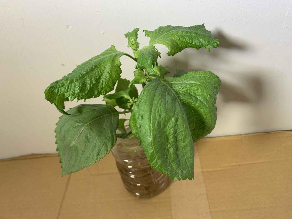 つぼみが出てきたことによりしぼみ始めたシソの葉
