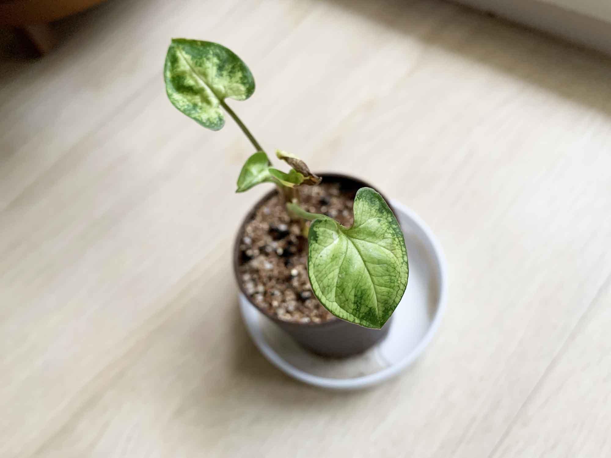 苔玉から植え替えられた小さいシンゴニウム
