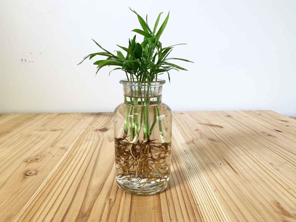 透明のビンに入れて水栽培となったテーブルヤシ