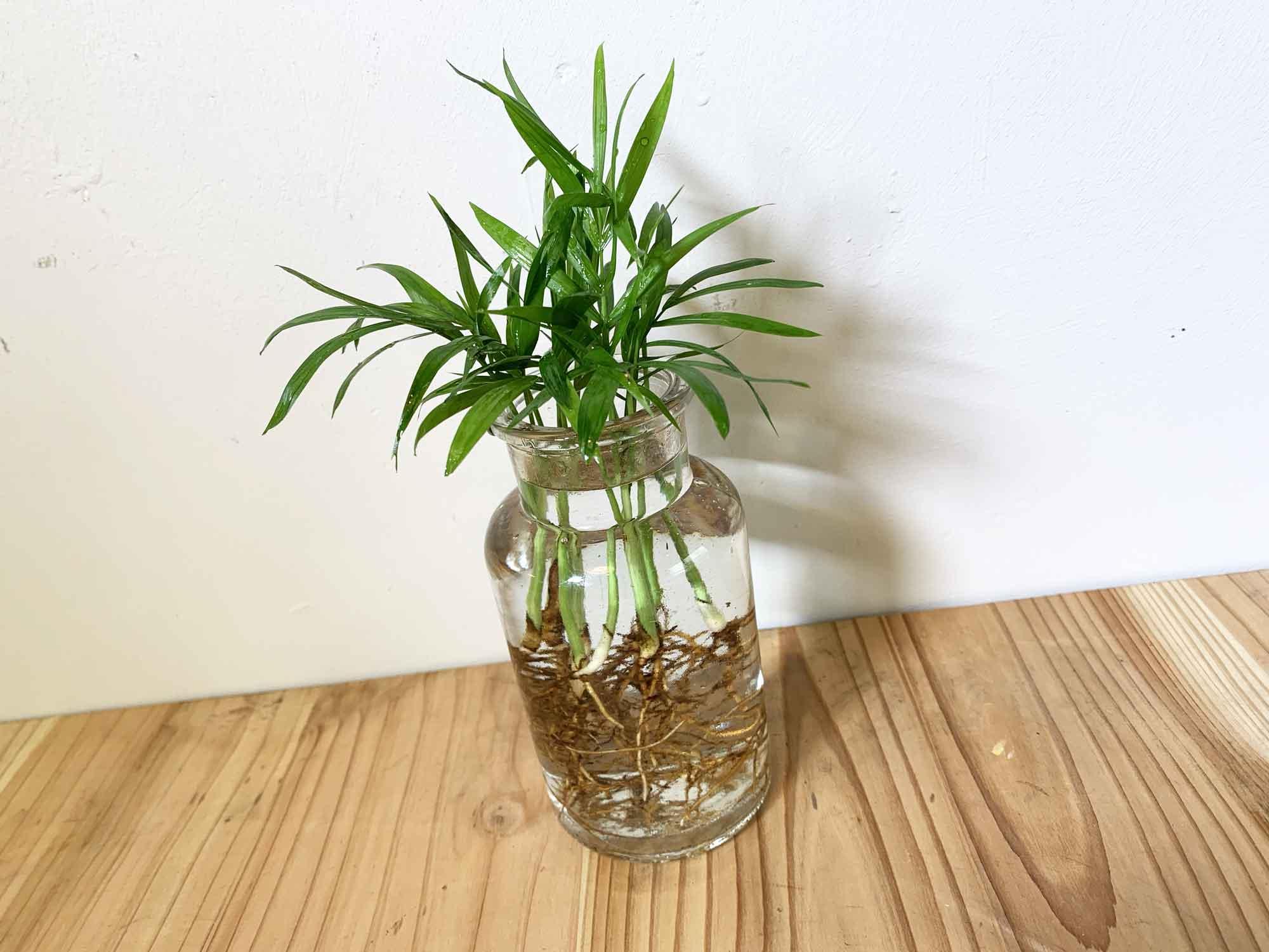 水栽培で育てるテーブルヤシ