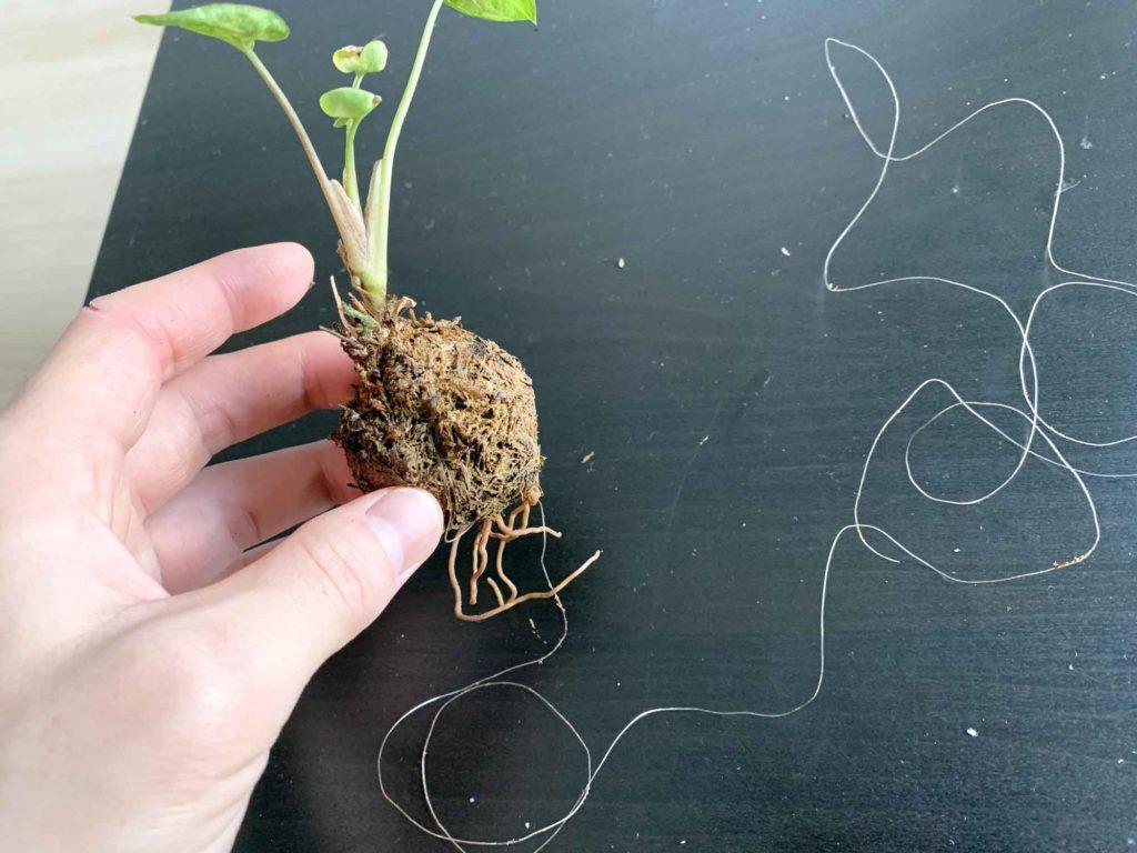 苔玉に巻きついている糸を切り、糸を解く