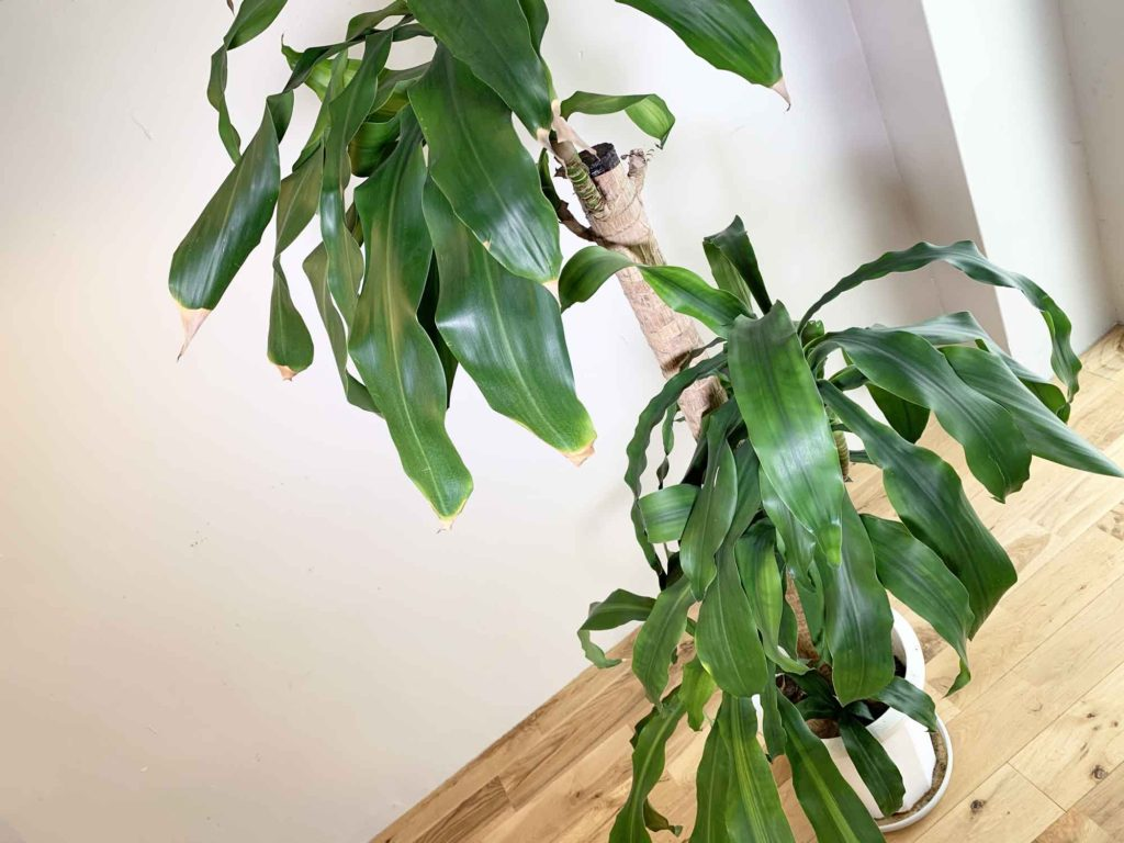 葉が全体的に波打っている幸福の木(ドラセナ・マッサンゲアナ)