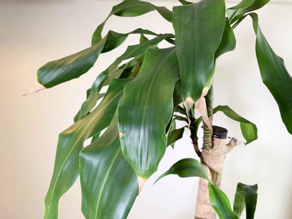 葉先だけが枯れている幸福の木(ドラセナ・マッサンゲアナ)
