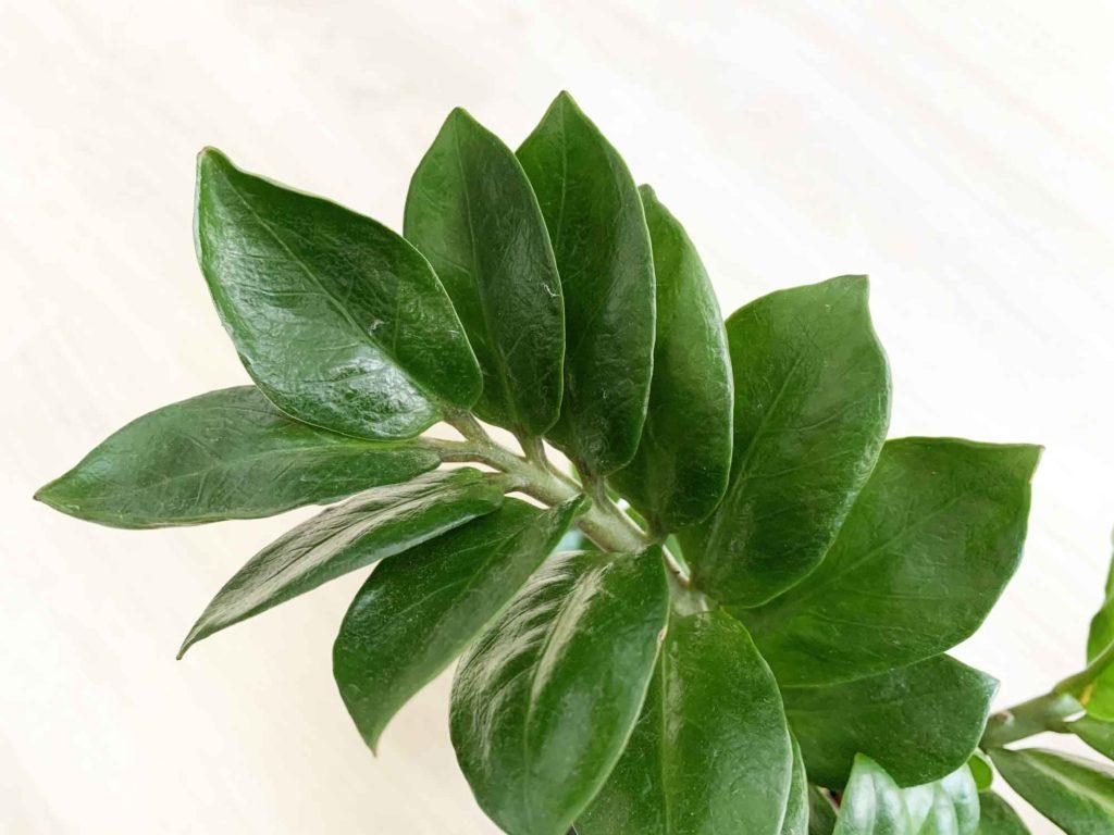 ザミオクルカスの葉
