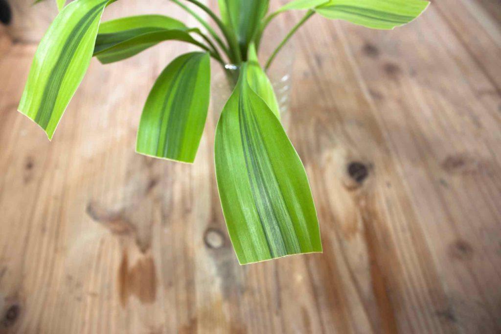 根っこがないことで全体の水分が保有しにくくなるため、葉っぱの半分をカットしたドラセナ・サンデリアーナ