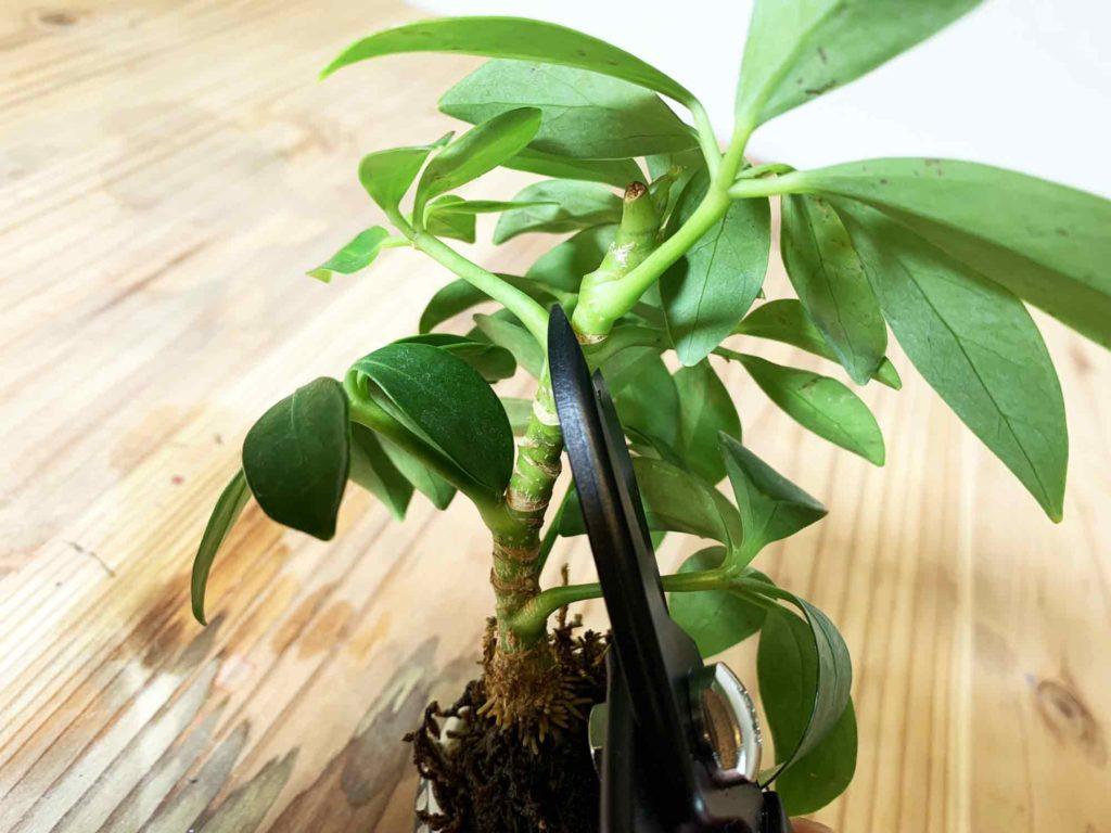 カポックを増やすために生長点を含むよう茎をカット