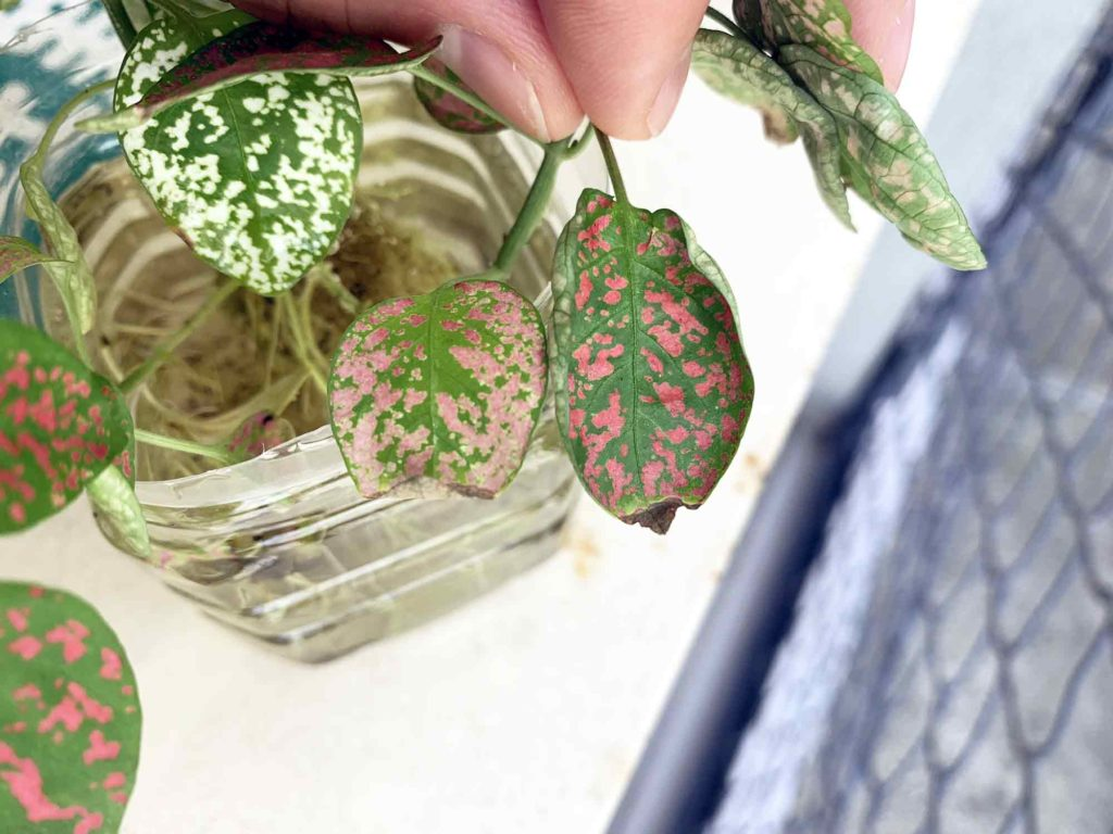 日光の当たり具合で差が出たヒポエステスの葉の色鮮やかさ