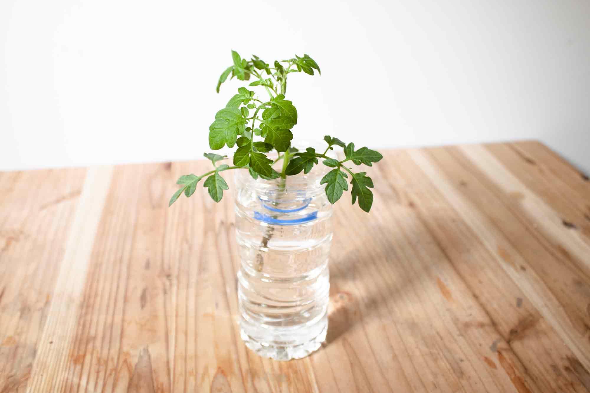 ペットボトルに入れた水耕栽培で育てるミニトマト