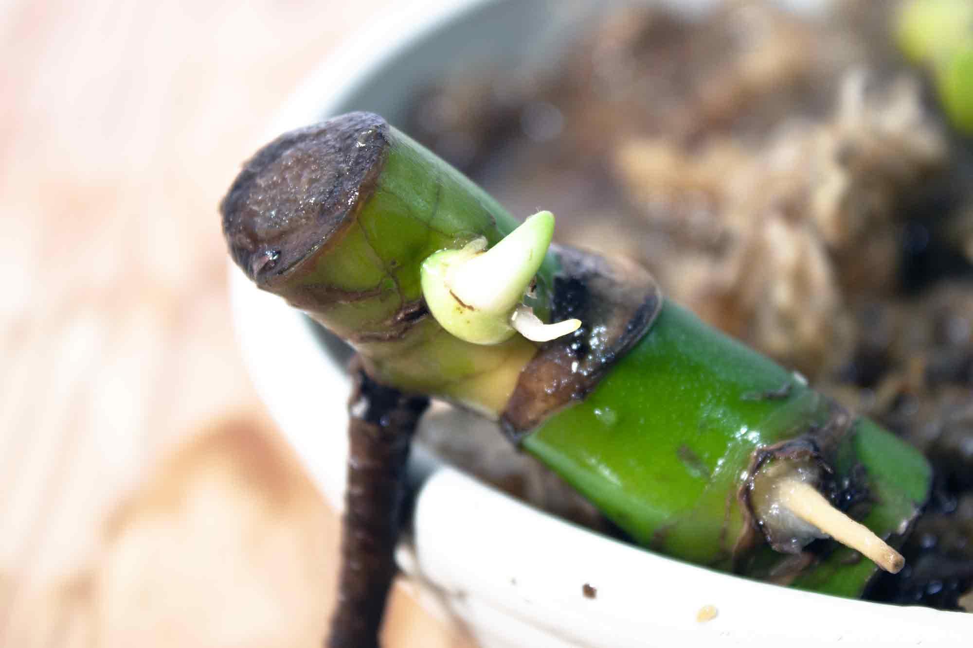 モンステラの節の近くから出た新芽