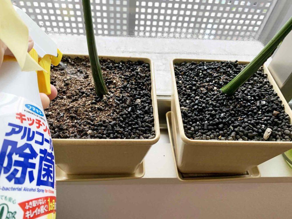 観葉植物の土表面全体にアルコール消毒液をスプレーすることで見えていないカビも駆除