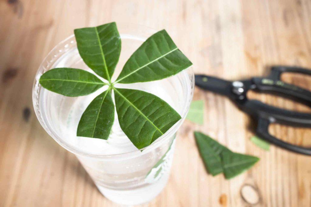 葉っぱを半分にカットして水分蒸発を防ぎ、より確実に発根しやすく促すパキラ