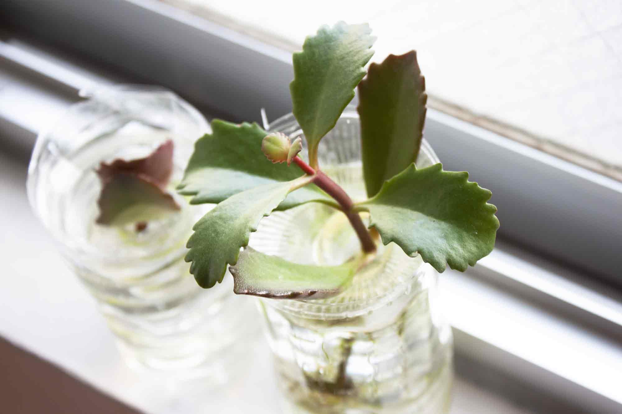 窓際に置いた水栽培で育てるカランコエ