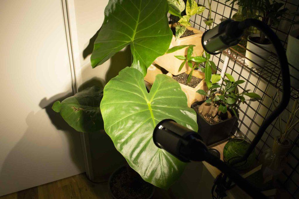 暗い玄関にLED植物育成ライトで照らされたクワズイモ