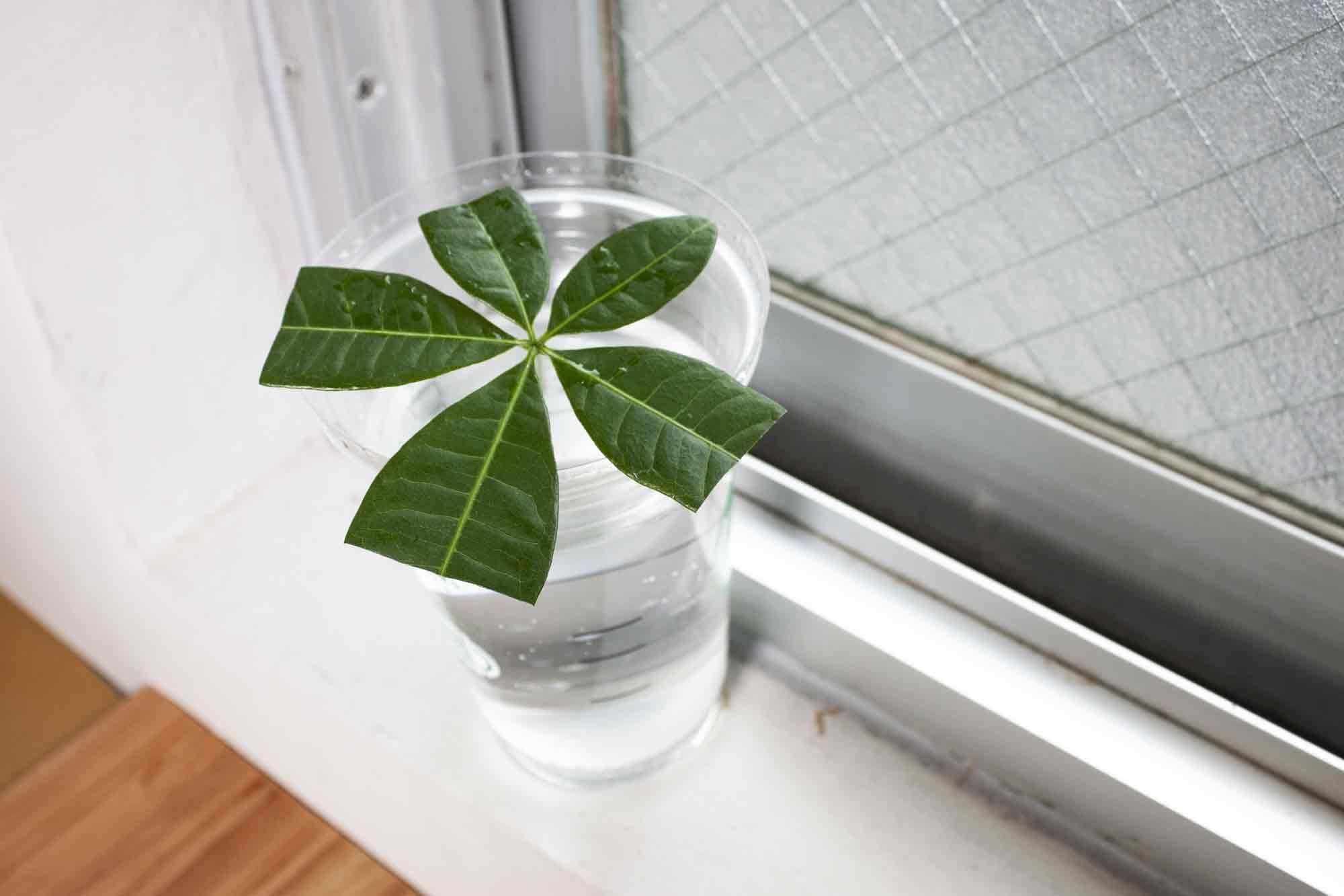 窓際で水耕栽培による発根を促すパキラ