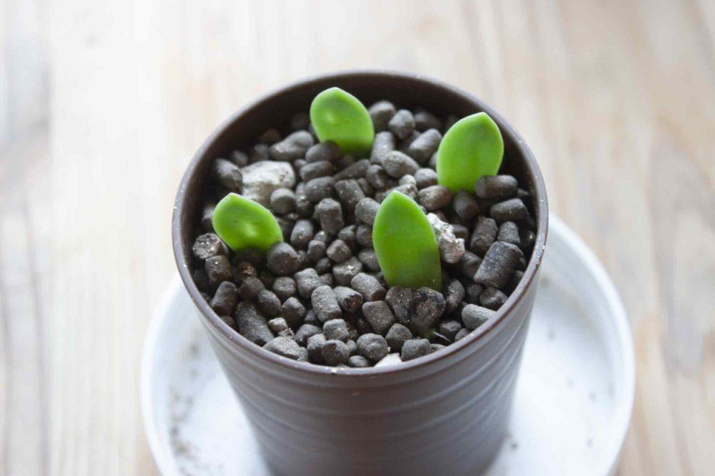 根っこが長くなったので土の中に根っこを植えたセダム