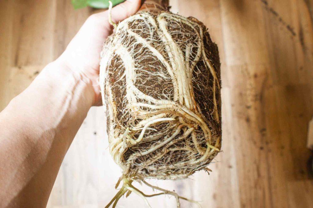 園芸ショップで購入したばかりの根詰まりしているクワズイモ