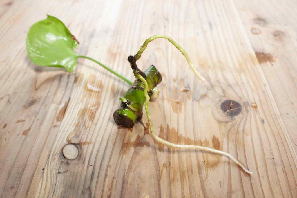 茎伏せでしっかり発根し、10cmほどに伸びたモンステラの根っこ