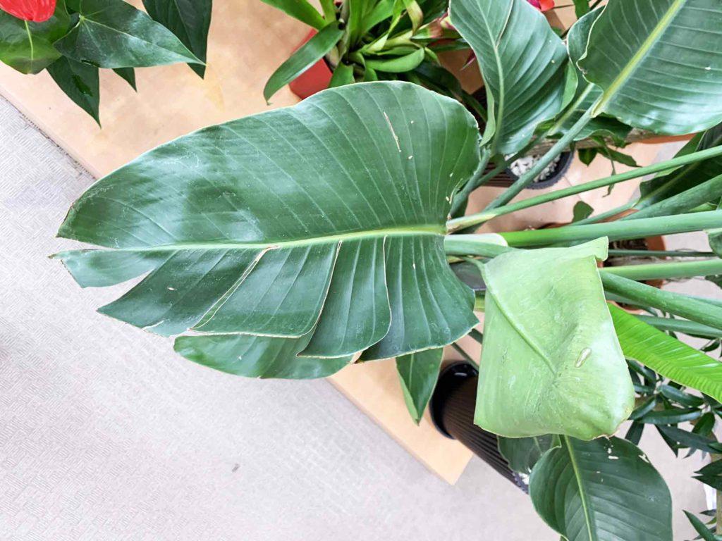 根詰まりが原因により葉が枯れたり丸まってしまっているオーガスタ