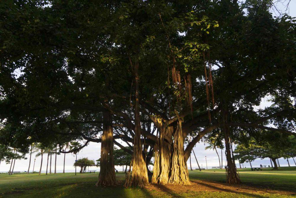 自然界で生息する大きくなったガジュマルの木