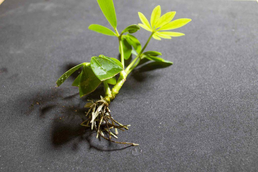水耕栽培を開始して1ヶ月経過し、しっかり根も葉も茎も生長したカポック