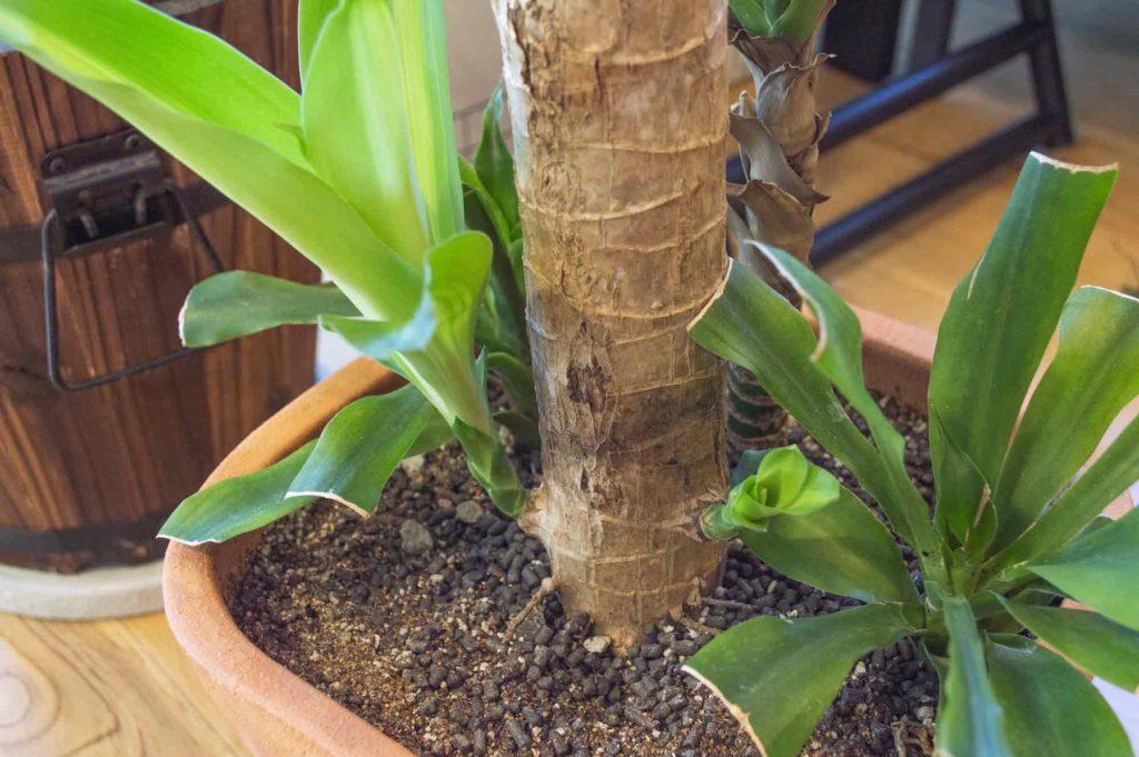 丸坊主から4ヶ月経過し、下の方の葉の生長が著しいドラセナ・マッサンゲアナ(幸福の木)
