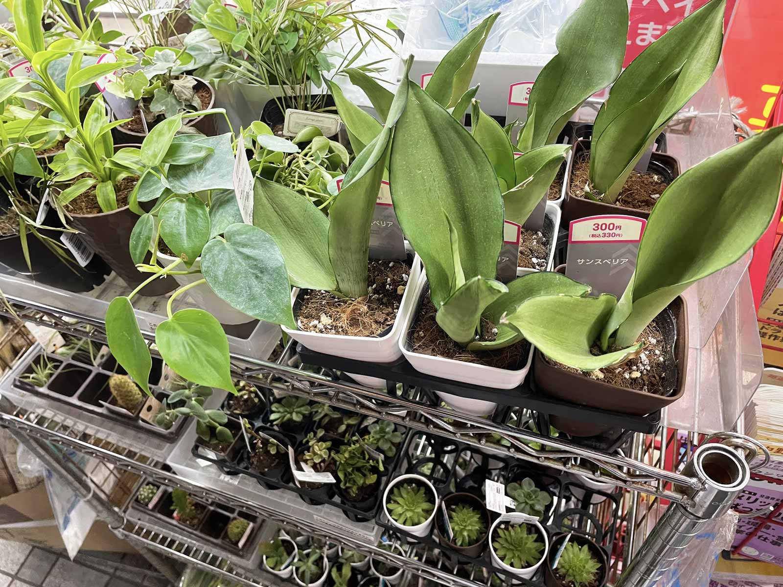 ダイソーで売られている観葉植物コーナー