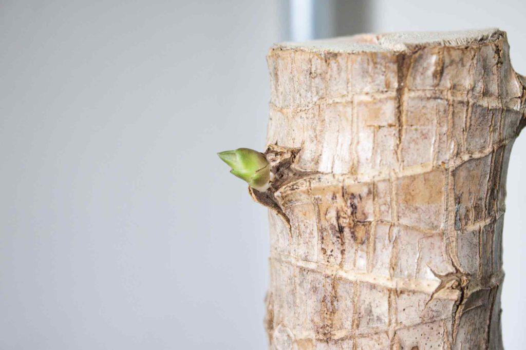 丸坊主にして2ヶ月が経過し、3cmほどの新芽が幹から出てきたドラセナ・マッサンゲアナ(幸福の木)