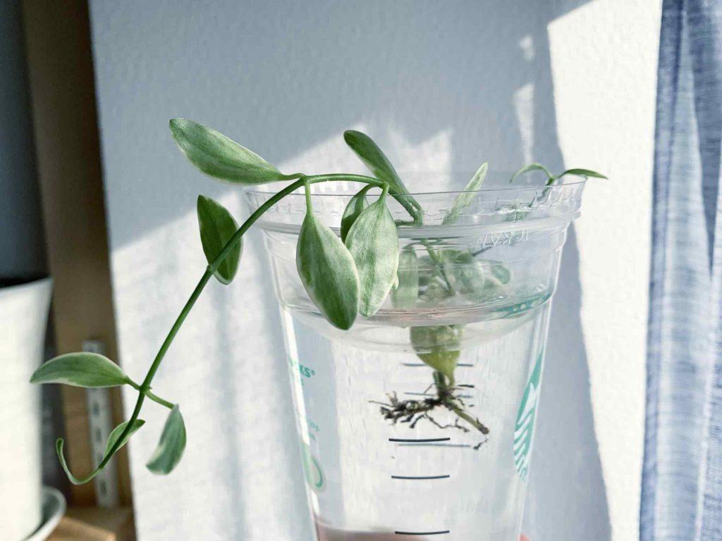 スタバのカップで水挿しにして育てるディスキディア