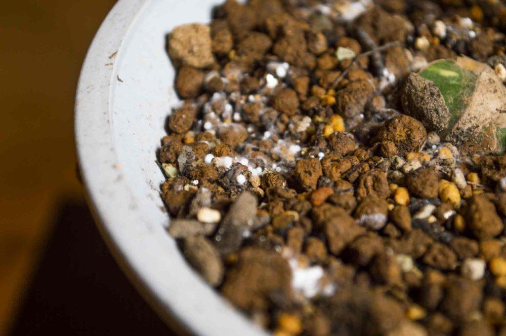 モンステラを植えている鉢の土表面に発見した白絹病菌