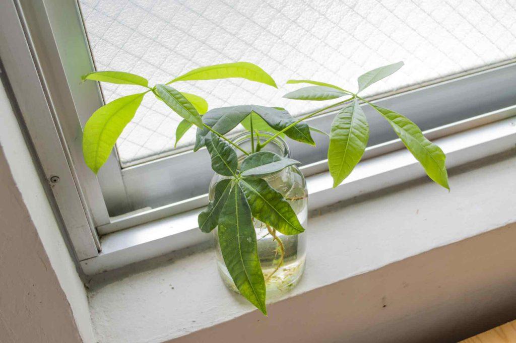 土に植え替えるのに十分な根と葉が生えたパキラ