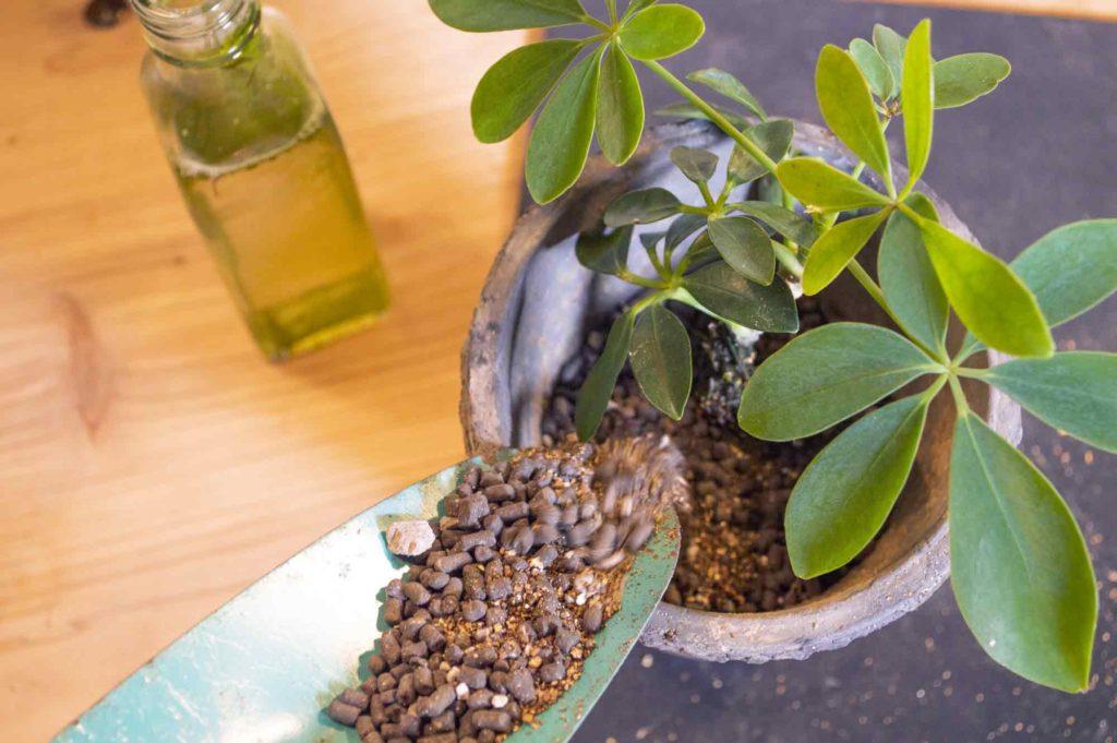 水挿しから土に植え替えるカポック