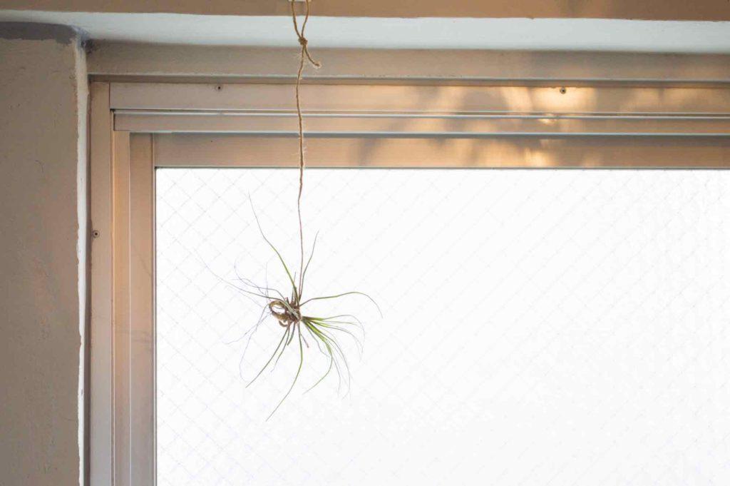 窓際に吊るしたエアプランツ