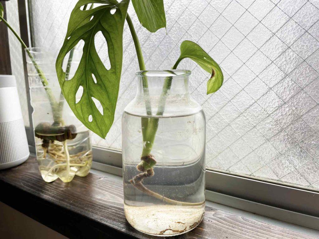 水栽培をしているマドカズラ