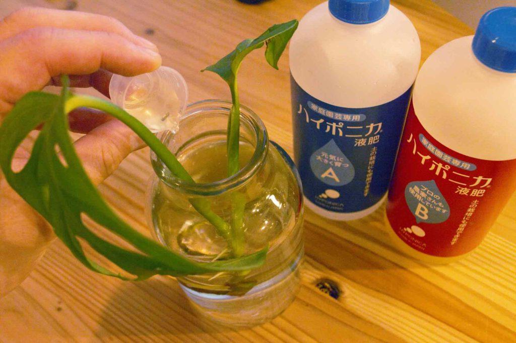 水耕栽培用肥料のハイポニカを水耕栽培で育てるマドカズラに与える