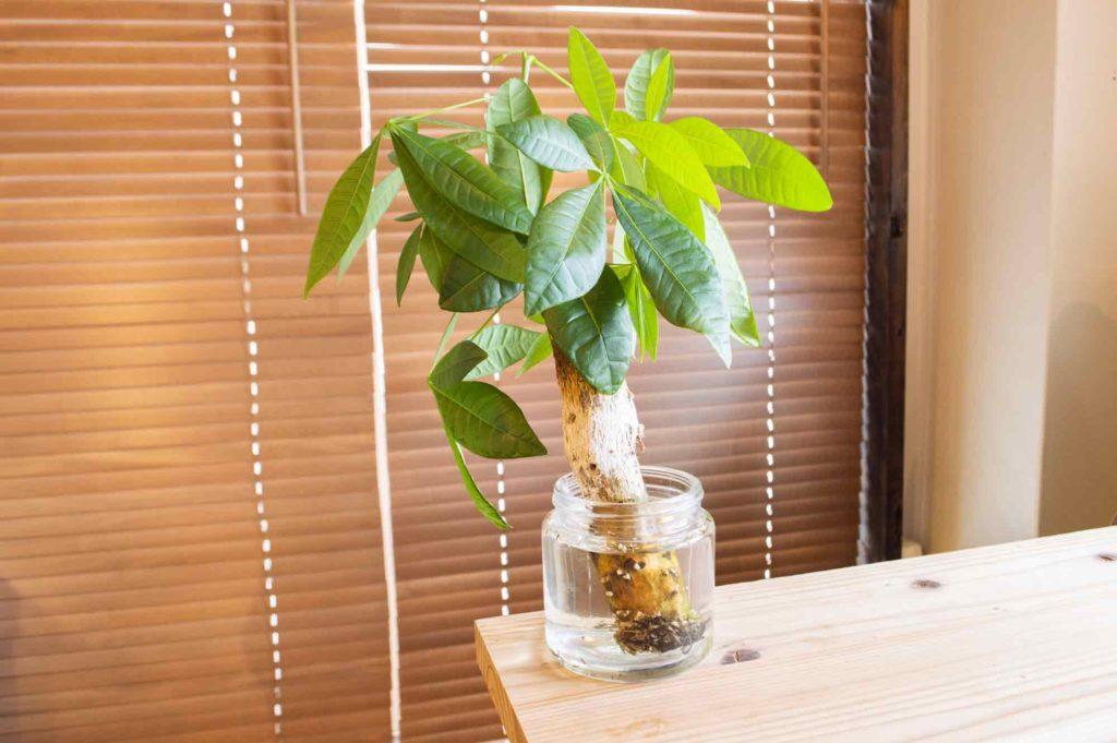 たくさん新芽が生えて生長したダイソー300円のパキラ