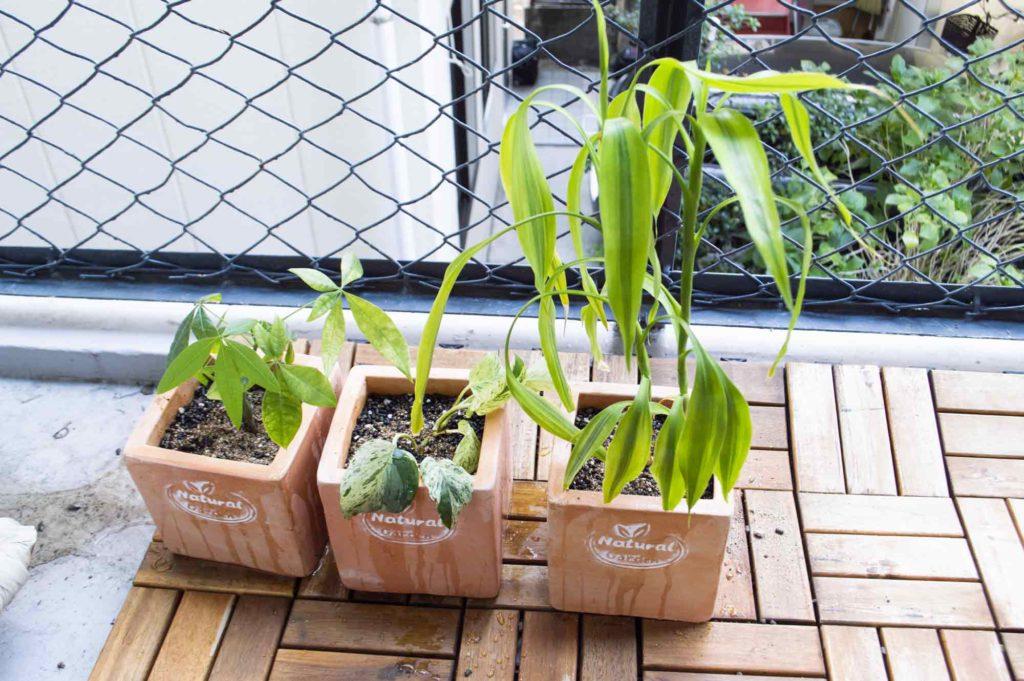 月一度のペースでベランダに置いてたっぷりの水を与えて元気を回復させる観葉植物